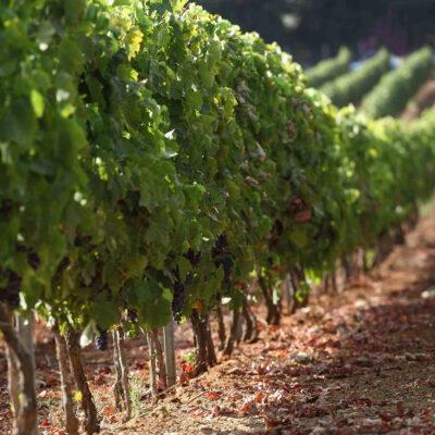 Anche nel 2021 confermata da Umbria e Lazio la riduzione della resa per ettaro dell'Orvieto